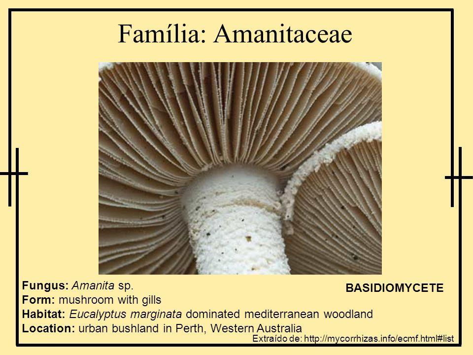Família: Russulaceae Fungus: Lactarius eucalypti Form: mushroom with gills Habitat: Eucalyptus marginata dominated mediterranean sclerophyllous forest Location: Western Australia BASIDIOMYCETE Extraído de: http://mycorrhizas.info/ecmf.html#list