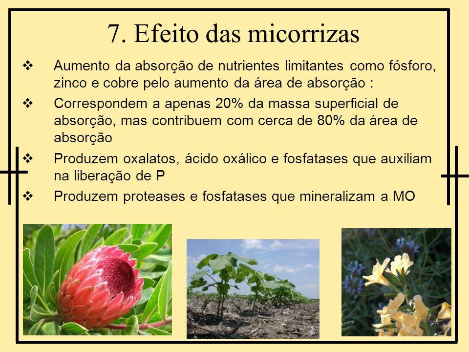 7. Efeito das micorrizas Aumento da absorção de nutrientes limitantes como fósforo, zinco e cobre pelo aumento da área de absorção : Correspondem a ap
