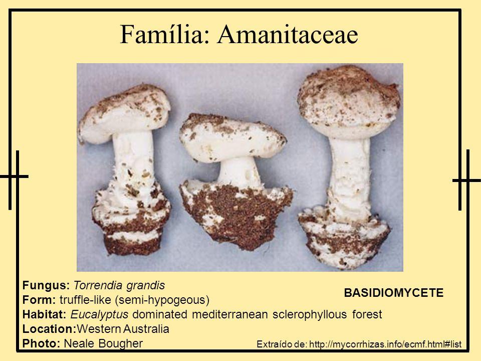 Família: Endogonaceae Fungus: Endogone pisiformis Form: Truffle-like (epigeous on sphagnum moss) Habitat: coniferous forest Location: Ontario, Canada ZYGOMYCETE Extraído de: http://mycorrhizas.info/ecmf.html#list