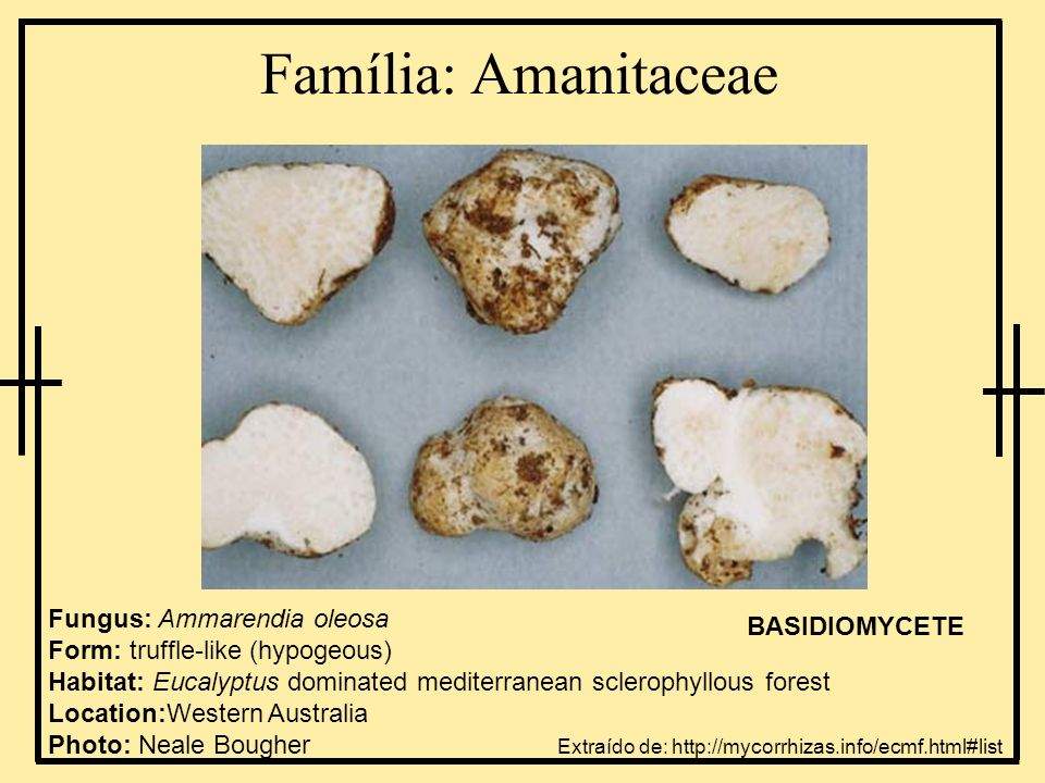 Família: Hygrophoraceae Fungus: Humidicutis viridimagentea Form: Mushroom with gills Habitat: Eucalyptus and Agonis woodland (probably mycorrhizal) Location: Denmark, Western Australia BASIDIOMYCETE Extraído de: http://mycorrhizas.info/ecmf.html#list