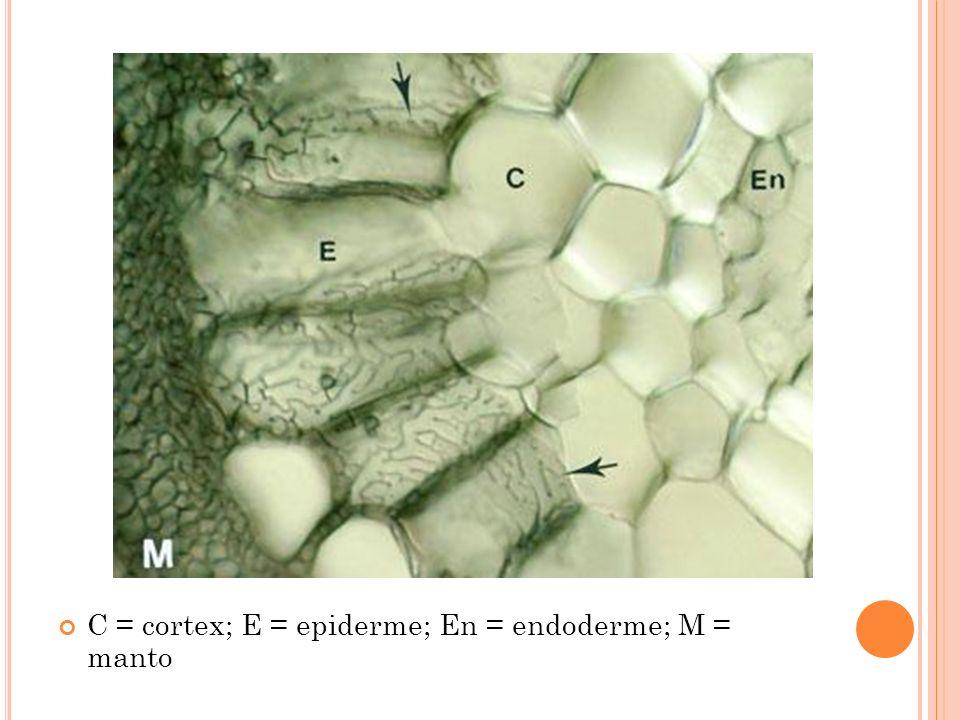 C = cortex; E = epiderme; En = endoderme; M = manto