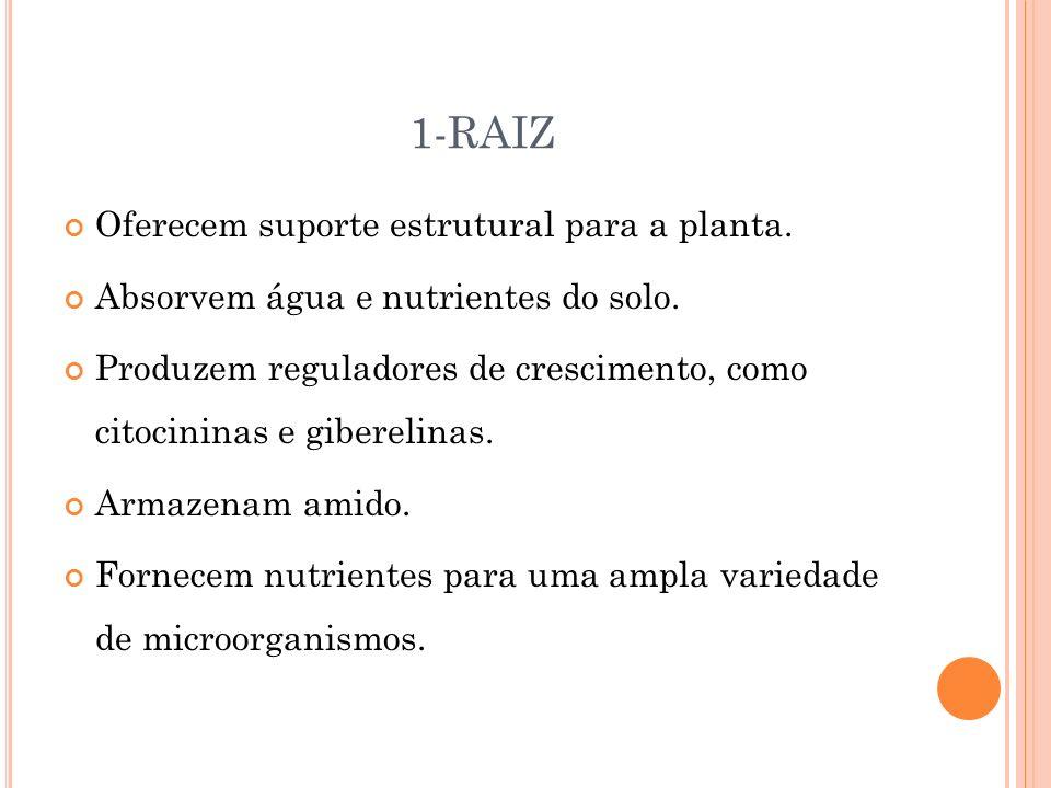 1-RAIZ Oferecem suporte estrutural para a planta. Absorvem água e nutrientes do solo. Produzem reguladores de crescimento, como citocininas e gibereli