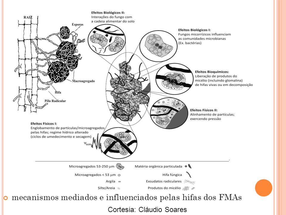 mecanismos mediados e influenciados pelas hifas dos FMAs Cortesia: Cláudio Soares