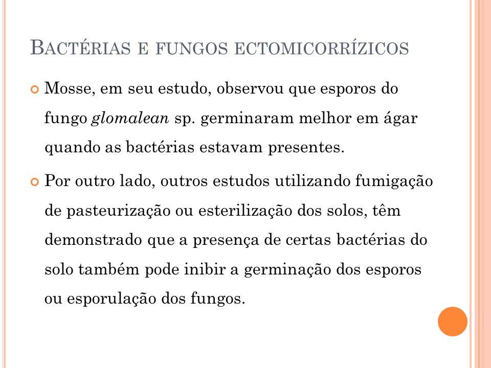 B ACTÉRIAS E FUNGOS ECTOMICORRÍZICOS Mosse, em seu estudo, observou que esporos do fungo glomalean sp. germinaram melhor em ágar quando as bactérias e