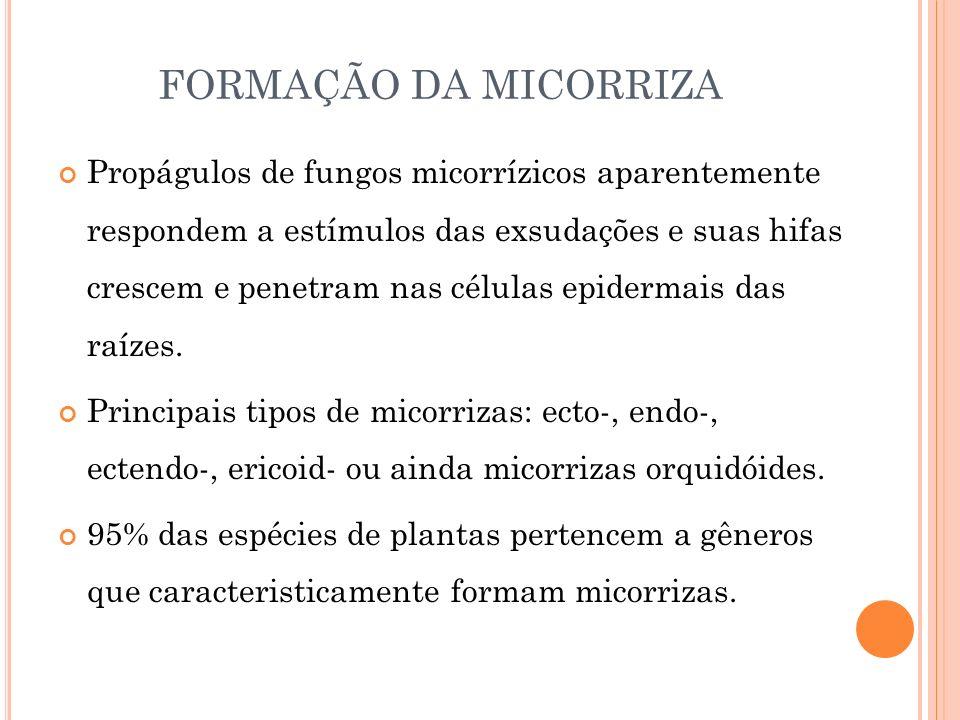 FORMAÇÃO DA MICORRIZA Propágulos de fungos micorrízicos aparentemente respondem a estímulos das exsudações e suas hifas crescem e penetram nas células