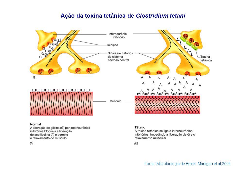 Ação da toxina tetânica de Clostridium tetani Fonte: Microbiologia de Brock; Madigan et al.2004