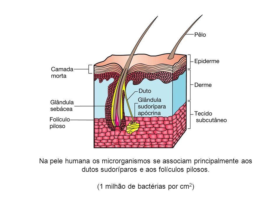 Na pele humana os microrganismos se associam principalmente aos dutos sudoríparos e aos folículos pilosos. (1 milhão de bactérias por cm 2 )