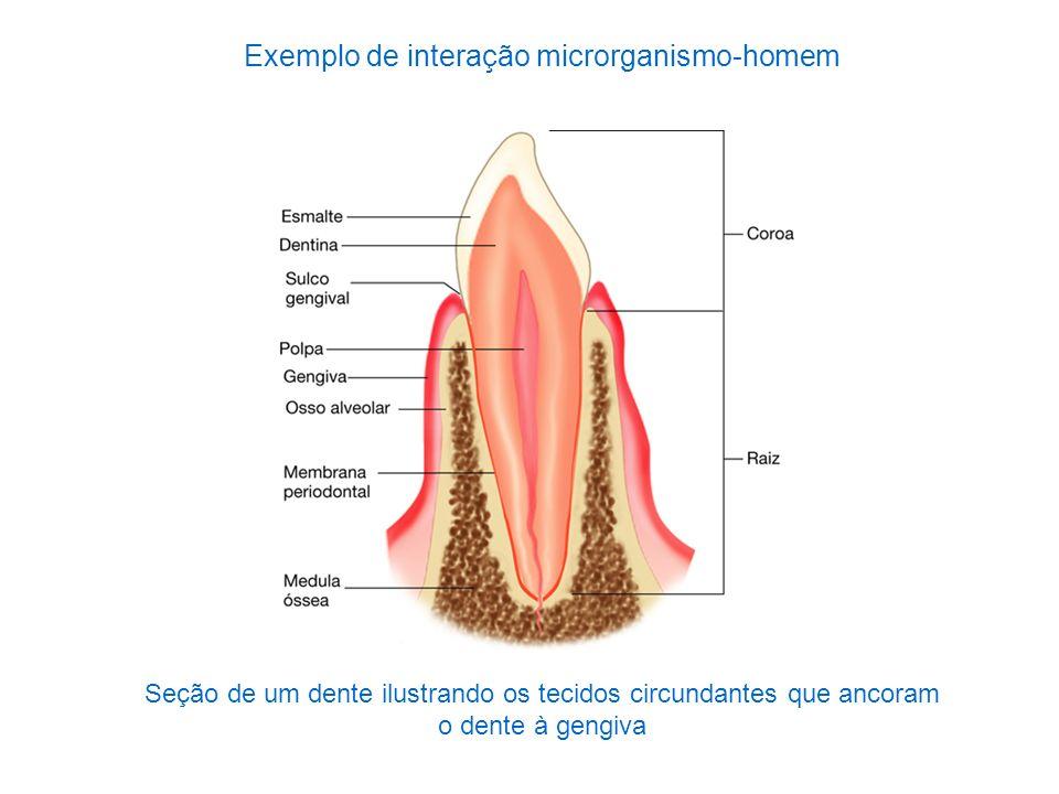 Seção de um dente ilustrando os tecidos circundantes que ancoram o dente à gengiva Exemplo de interação microrganismo-homem