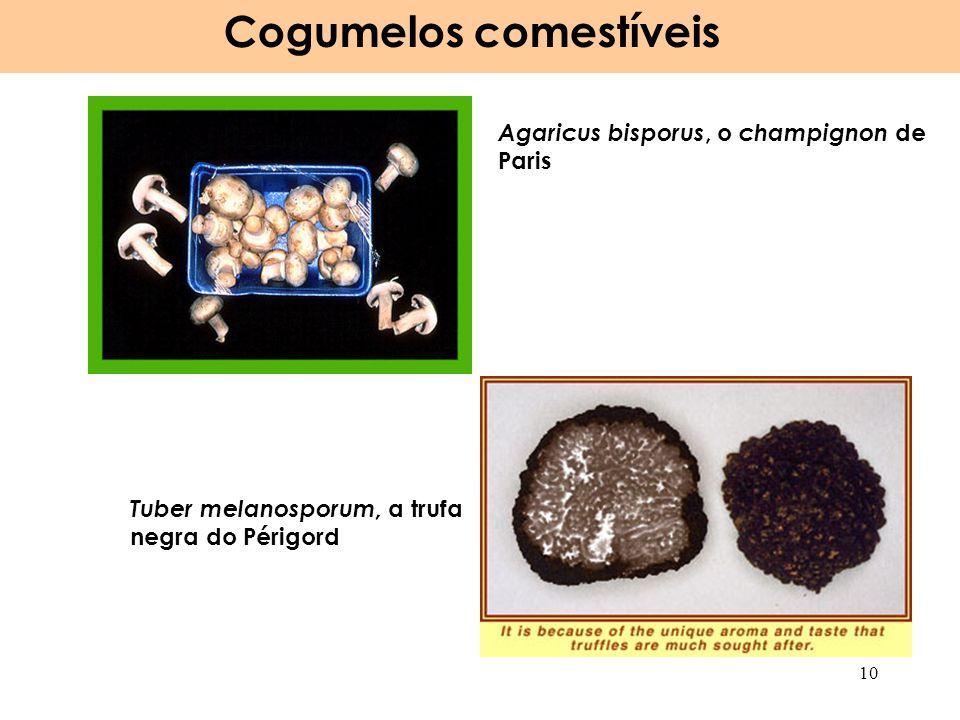 Agaricus bisporus, o champignon de Paris Tuber melanosporum, a trufa negra do Périgord Cogumelos comestíveis 10