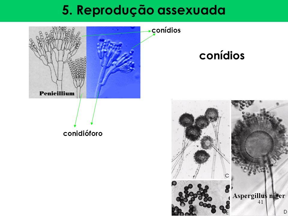 5. Reprodução assexuada conídios conidióforo Aspergillus niger conídios 41