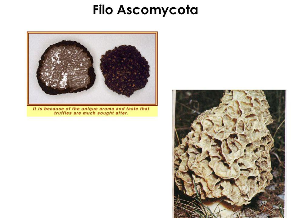 Filo Ascomycota 61