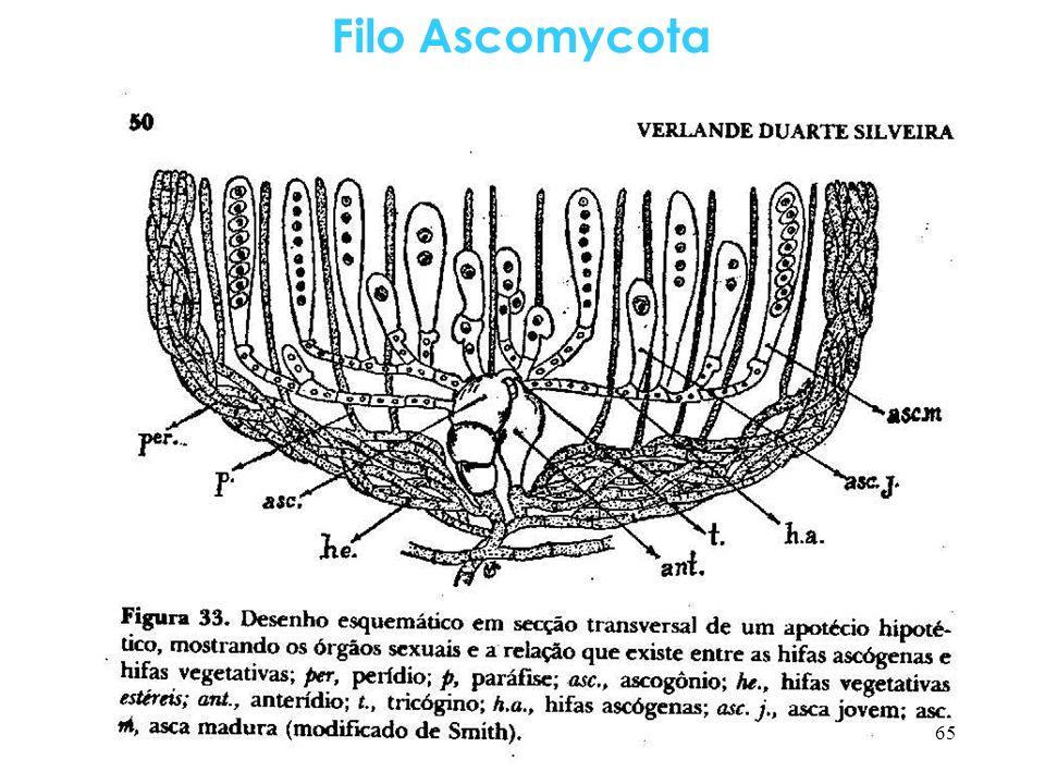 Filo Ascomycota 65