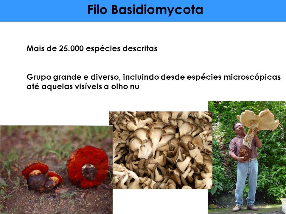 Mais de 25.000 espécies descritas Grupo grande e diverso, incluindo desde espécies microscópicas até aquelas visíveis a olho nu Filo Basidiomycota 66