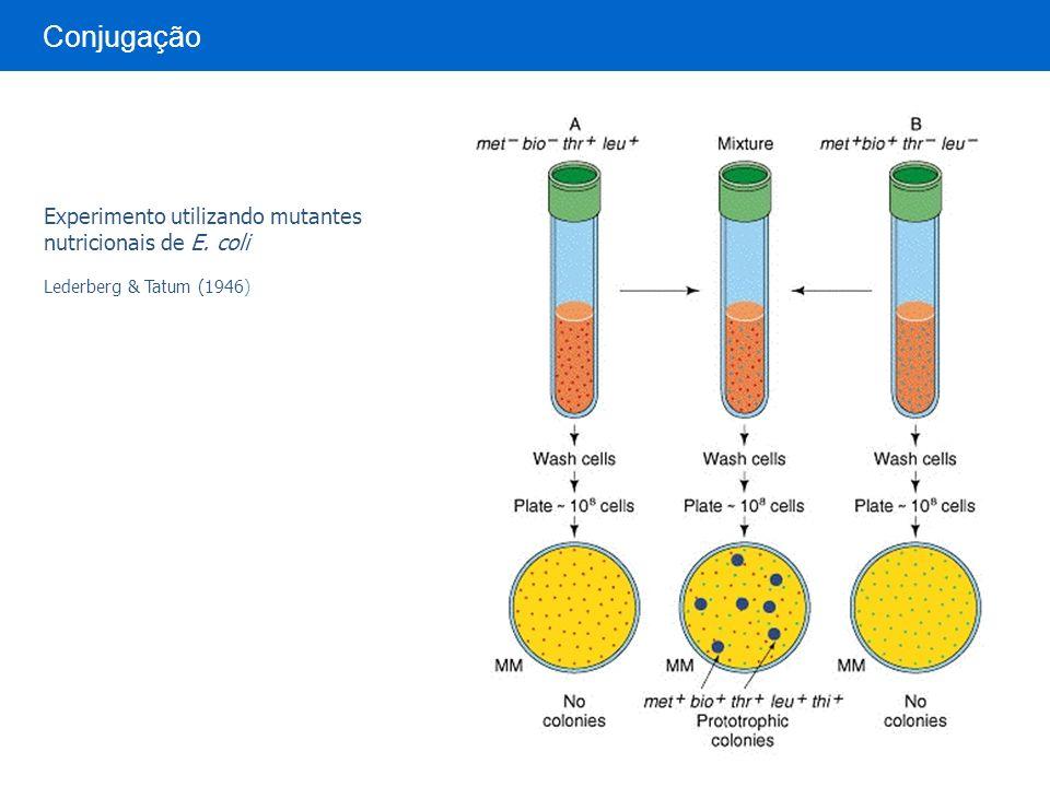 Experimento utilizando mutantes nutricionais de E. coli Lederberg & Tatum (1946) Conjugação