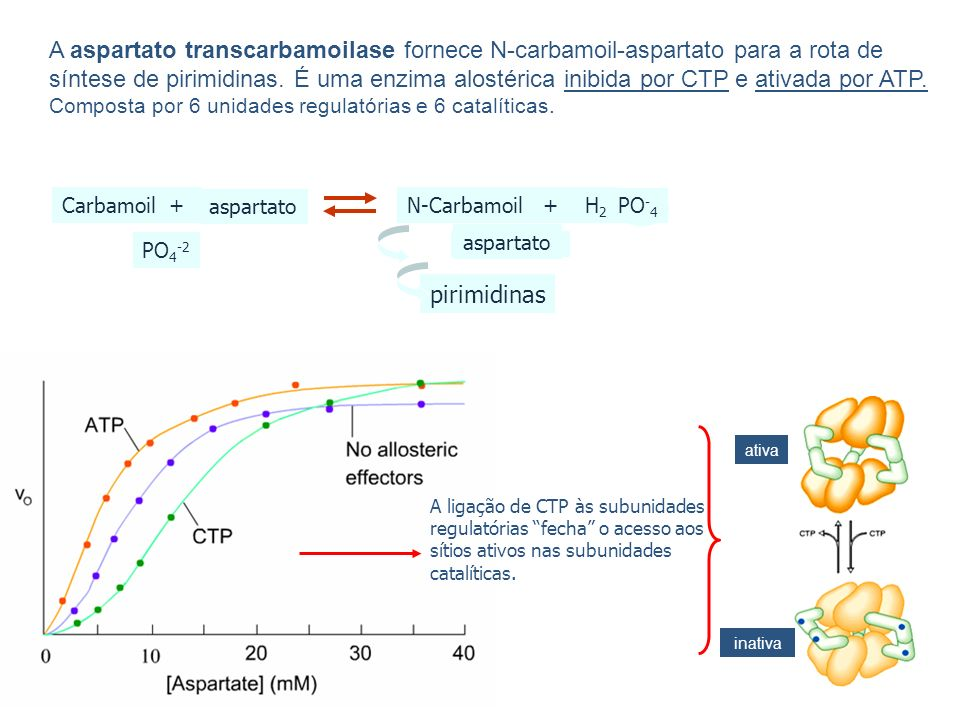 A aspartato transcarbamoilase fornece N-carbamoil-aspartato para a rota de síntese de pirimidinas. É uma enzima alostérica inibida por CTP e ativada p