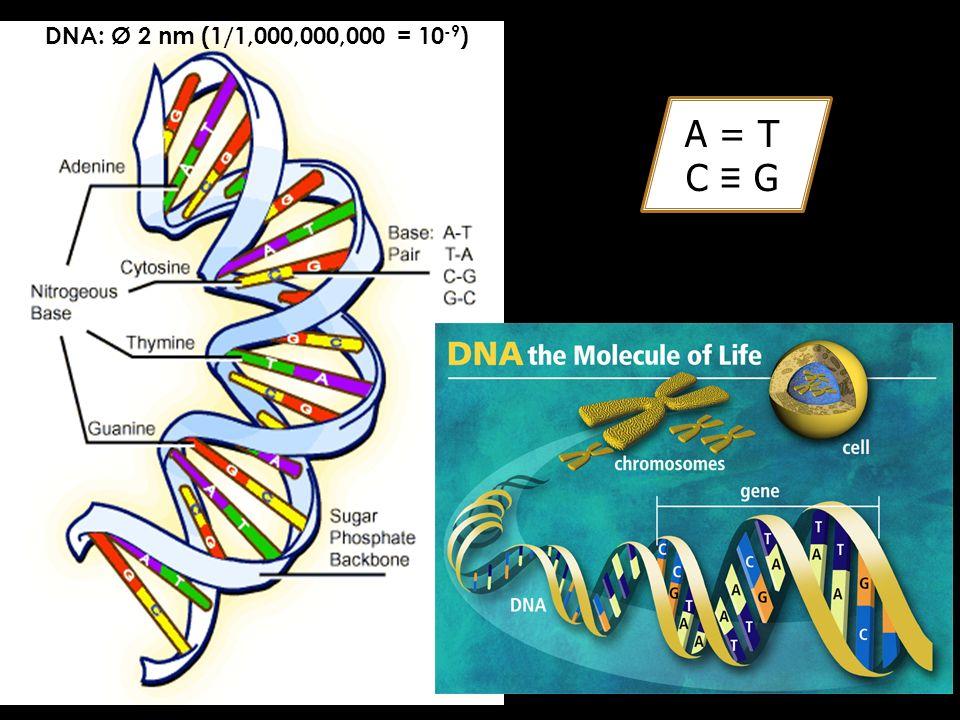 A = T C G DNA: Ø 2 nm (1/1,000,000,000 = 10 -9 )