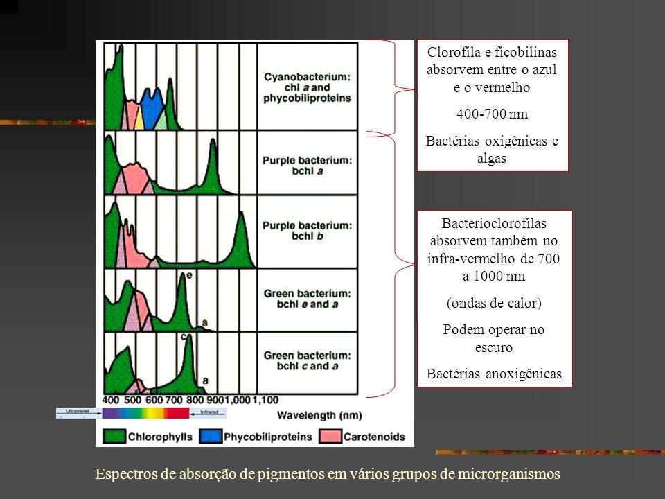 Bacterioclorofilas absorvem também no infra-vermelho de 700 a 1000 nm (ondas de calor) Podem operar no escuro Bactérias anoxigênicas Clorofila e ficobilinas absorvem entre o azul e o vermelho 400-700 nm Bactérias oxigênicas e algas Espectros de absorção de pigmentos em vários grupos de microrganismos