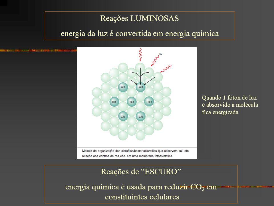Reações LUMINOSAS energia da luz é convertida em energia química Reações de ESCURO energia química é usada para reduzir CO 2 em constituintes celulares Quando 1 fóton de luz é absorvido a molécula fica energizada