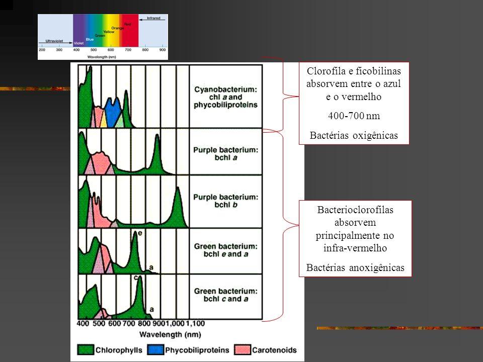 Bacterioclorofilas absorvem principalmente no infra-vermelho Bactérias anoxigênicas Clorofila e ficobilinas absorvem entre o azul e o vermelho 400-700