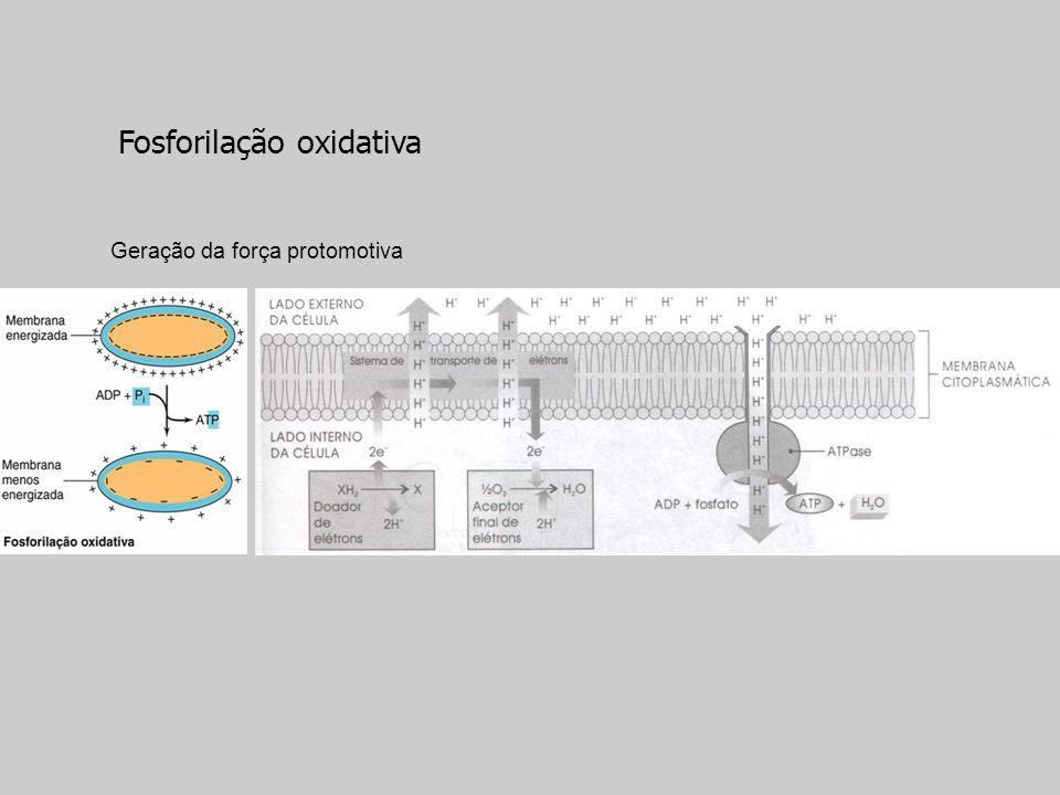 Geração da força protomotiva Fosforilação oxidativa