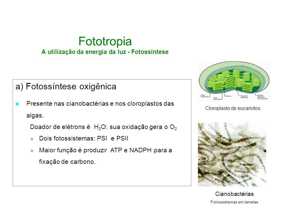 Fototropia A utilização da energia da luz - Fotossíntese a) Fotossíntese oxigênica Presente nas cianobactérias e nos cloroplastos das algas. Doador de