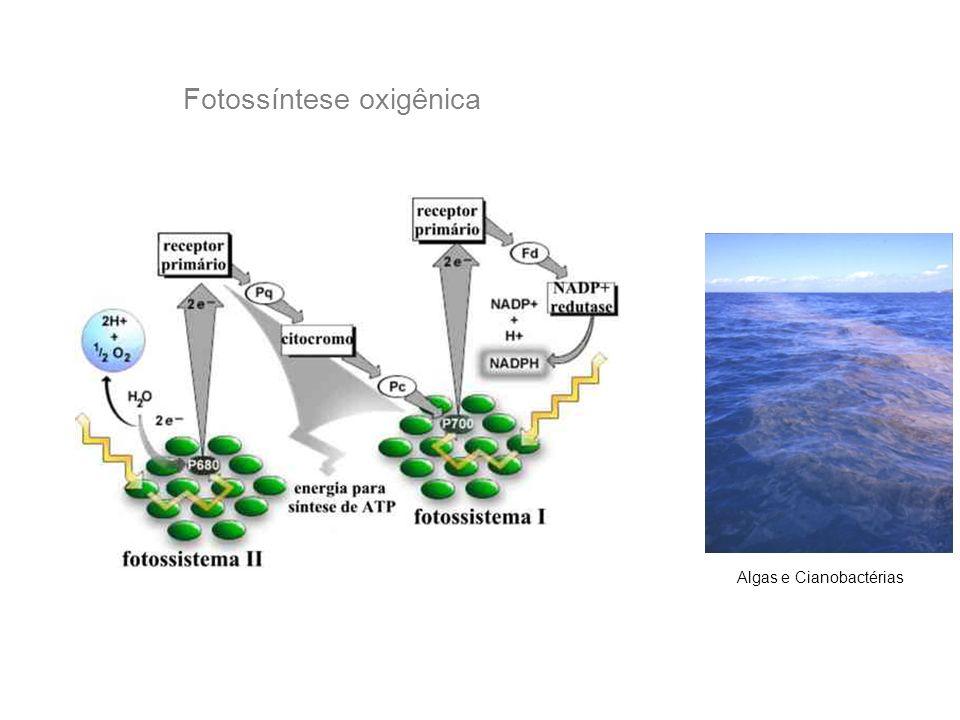 Fotossíntese oxigênica Algas e Cianobactérias