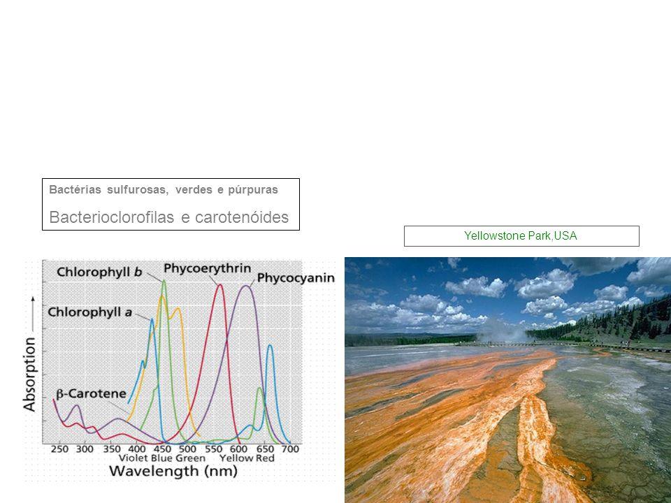 Bactérias sulfurosas, verdes e púrpuras Bacterioclorofilas e carotenóides Yellowstone Park,USA