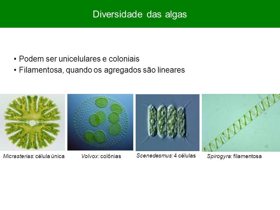 Diversidade das algas Podem ser unicelulares e coloniais Filamentosa, quando os agregados são lineares Micrasterias: célula únicaSpirogyra: filamentosaVolvox: colônias Scenedesmus: 4 células