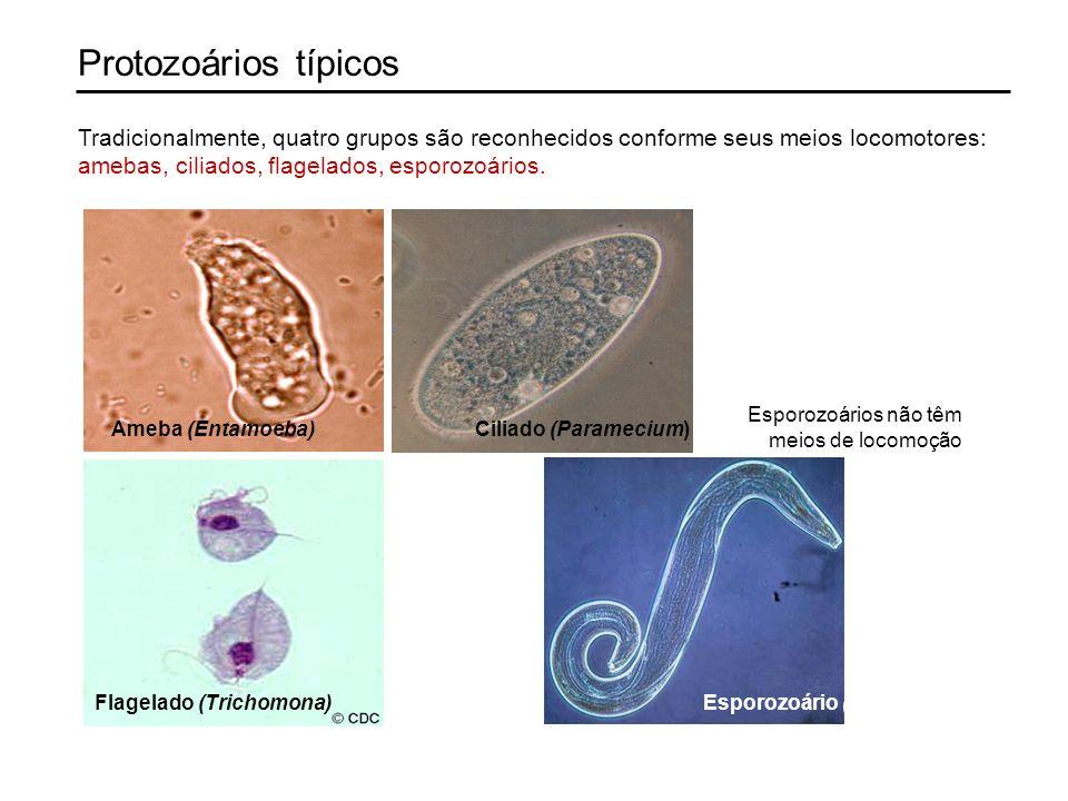 Protozoários típicos Ameba (Entamoeba)Ciliado (Paramecium) Esporozoário (Plasmodium)Flagelado (Trichomona) Tradicionalmente, quatro grupos são reconhecidos conforme seus meios locomotores: amebas, ciliados, flagelados, esporozoários.