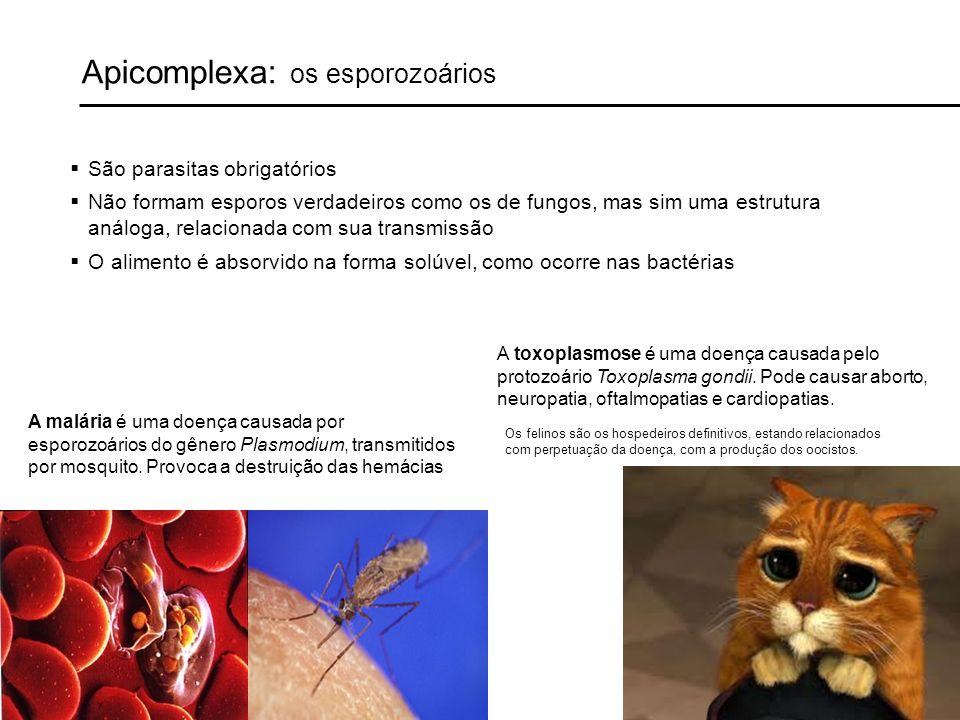 Apicomplexa: os esporozoários São parasitas obrigatórios Não formam esporos verdadeiros como os de fungos, mas sim uma estrutura análoga, relacionada com sua transmissão O alimento é absorvido na forma solúvel, como ocorre nas bactérias A malária é uma doença causada por esporozoários do gênero Plasmodium, transmitidos por mosquito.