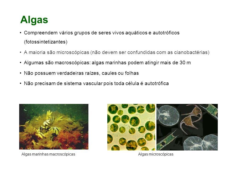 Algas Compreendem vários grupos de seres vivos aquáticos e autotróficos (fotossintetizantes) A maioria são microscópicas (não devem ser confundidas com as cianobactérias) Algumas são macroscópicas: algas marinhas podem atingir mais de 30 m Não possuem verdadeiras raízes, caules ou folhas Não precisam de sistema vascular pois toda célula é autotrófica Algas marinhas macroscópicasAlgas microscópicas