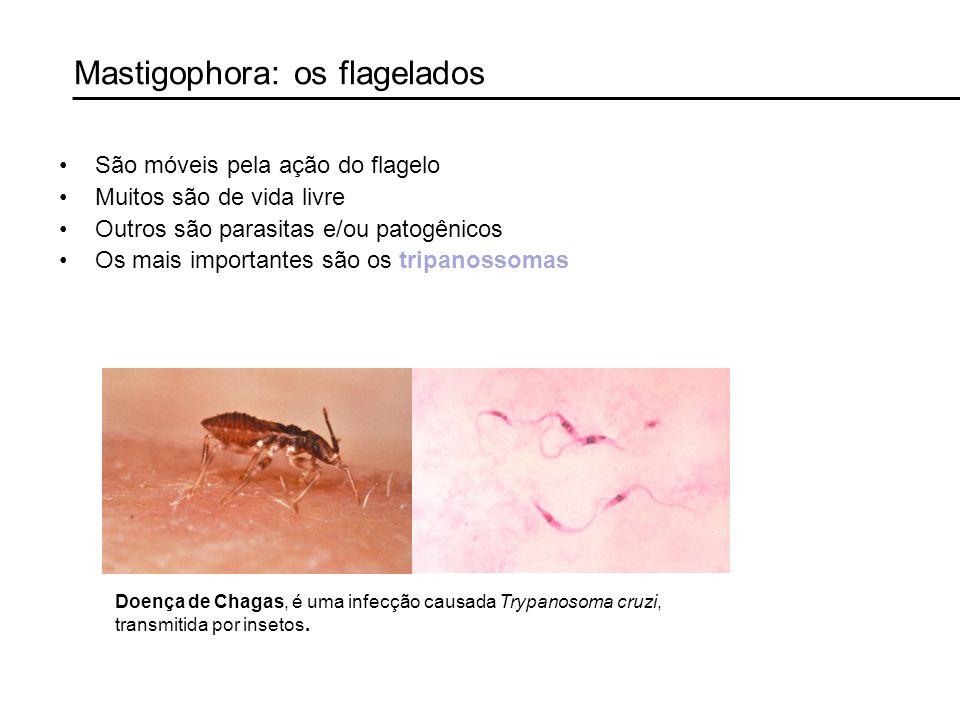 Mastigophora: os flagelados São móveis pela ação do flagelo Muitos são de vida livre Outros são parasitas e/ou patogênicos Os mais importantes são os