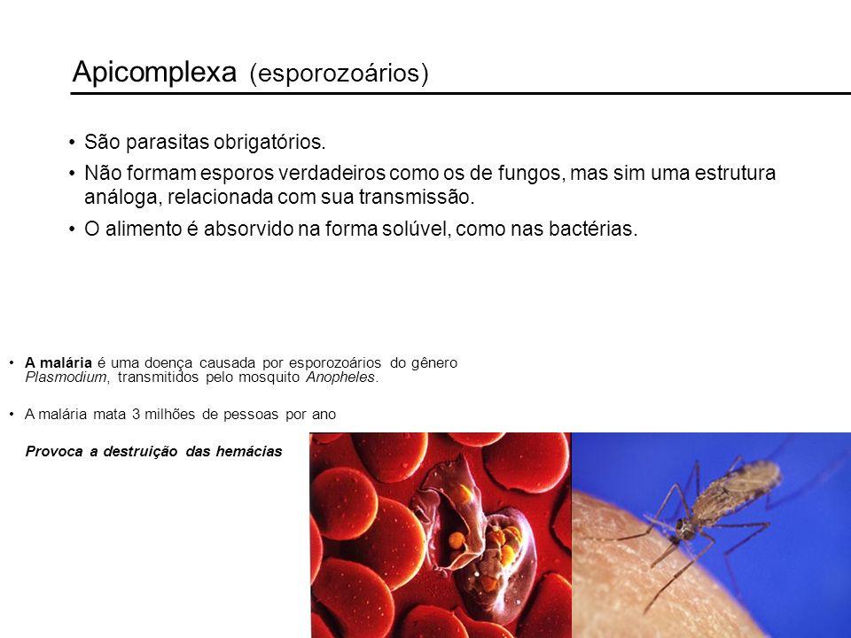 Apicomplexa (esporozoários) São parasitas obrigatórios. Não formam esporos verdadeiros como os de fungos, mas sim uma estrutura análoga, relacionada c