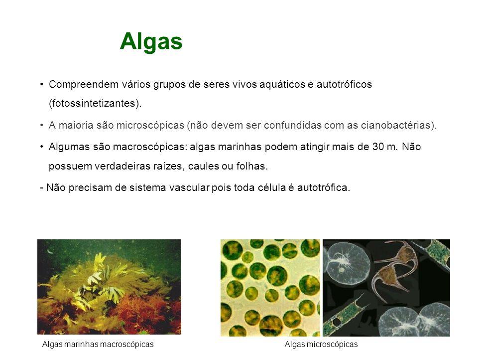 Algas Compreendem vários grupos de seres vivos aquáticos e autotróficos (fotossintetizantes). A maioria são microscópicas (não devem ser confundidas c