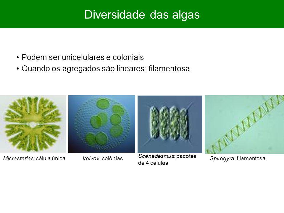 Diversidade das algas Podem ser unicelulares e coloniais Quando os agregados são lineares: filamentosa Micrasterias: célula únicaSpirogyra: filamentos
