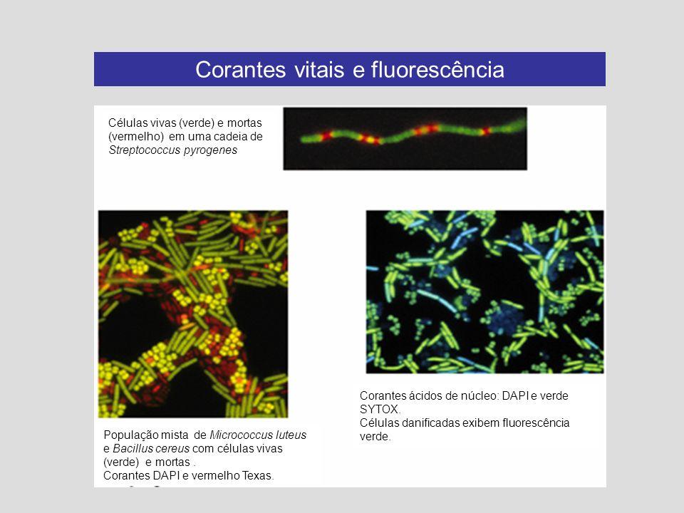 Corantes vitais e fluorescência Células vivas (verde) e mortas (vermelho) em uma cadeia de Streptococcus pyrogenes População mista de Micrococcus lute