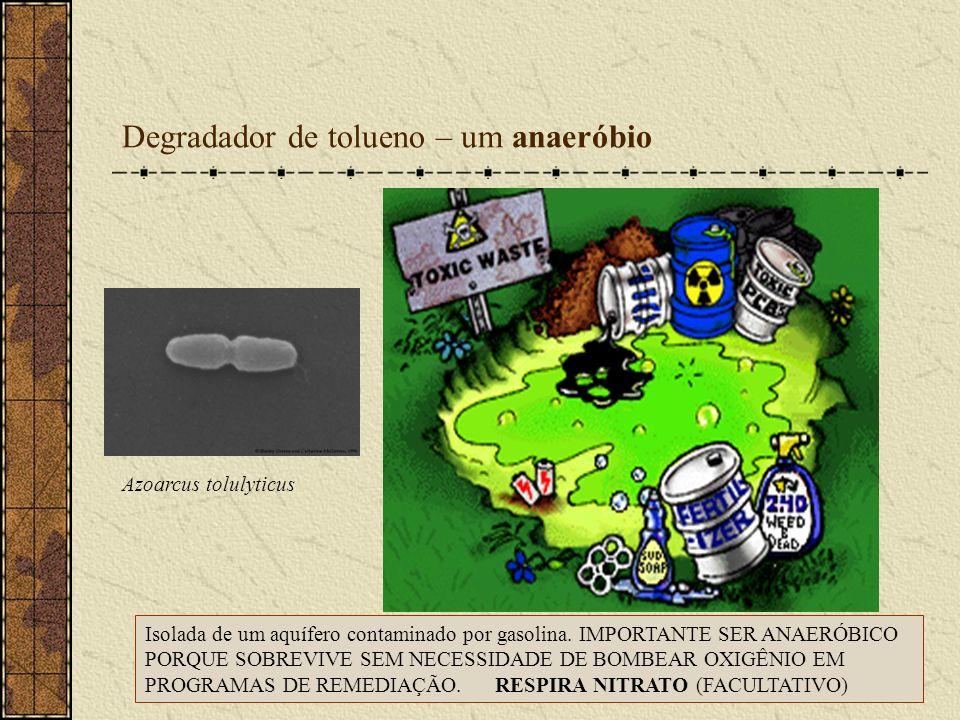 Degradador de tolueno – um anaeróbio Azoarcus tolulyticus Isolada de um aquífero contaminado por gasolina. IMPORTANTE SER ANAERÓBICO PORQUE SOBREVIVE