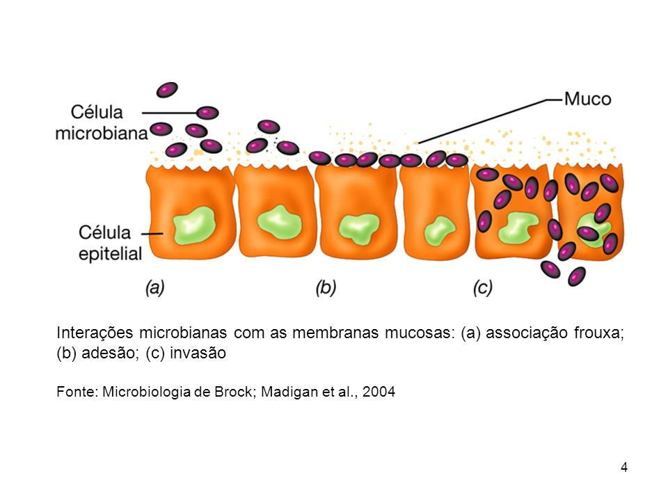 Aderência de patógenos a tecidos animais.