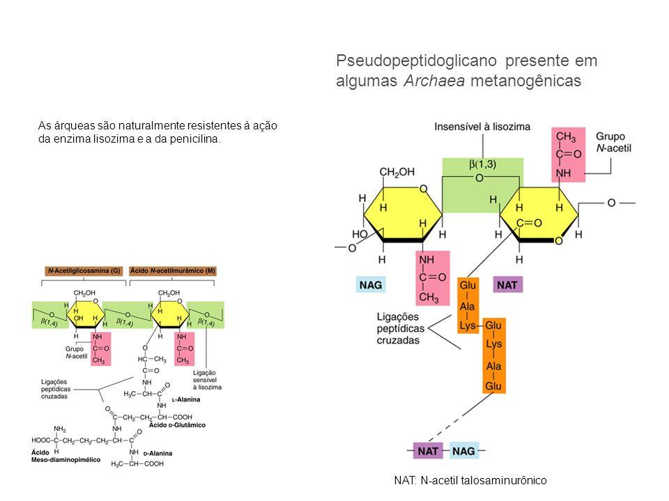 Pseudopeptidoglicano presente em algumas Archaea metanogênicas NAT: N-acetil talosaminurônico As árqueas são naturalmente resistentes à ação da enzima