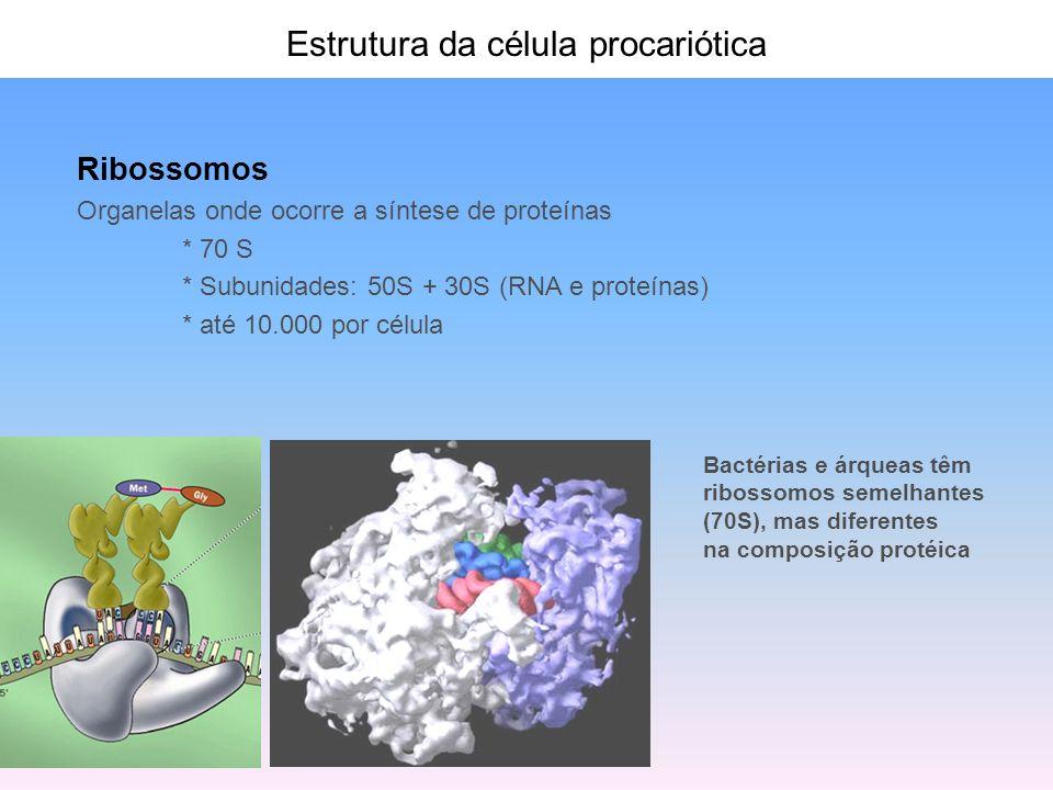 Estrutura da célula procariótica Ribossomos Organelas onde ocorre a síntese de proteínas * 70 S * Subunidades: 50S + 30S (RNA e proteínas) * até 10.00