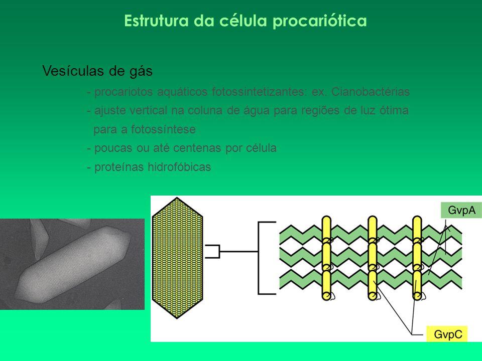 Estrutura da célula procariótica Vesículas de gás - procariotos aquáticos fotossintetizantes: ex. Cianobactérias - ajuste vertical na coluna de água p