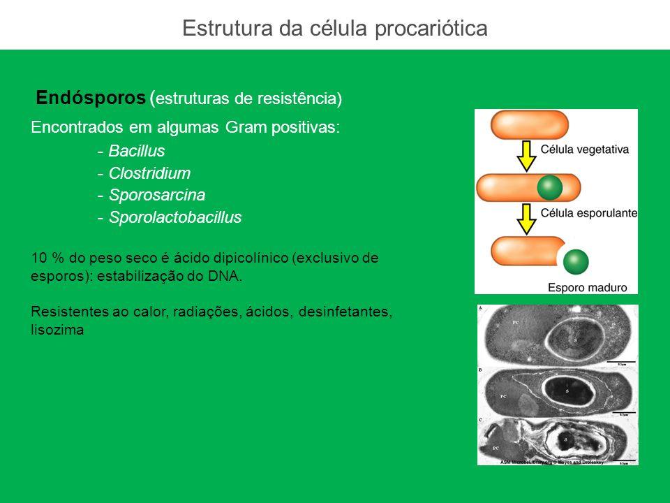 Endósporos ( estruturas de resistência) Encontrados em algumas Gram positivas: - Bacillus - Clostridium - Sporosarcina - Sporolactobacillus 10 % do pe