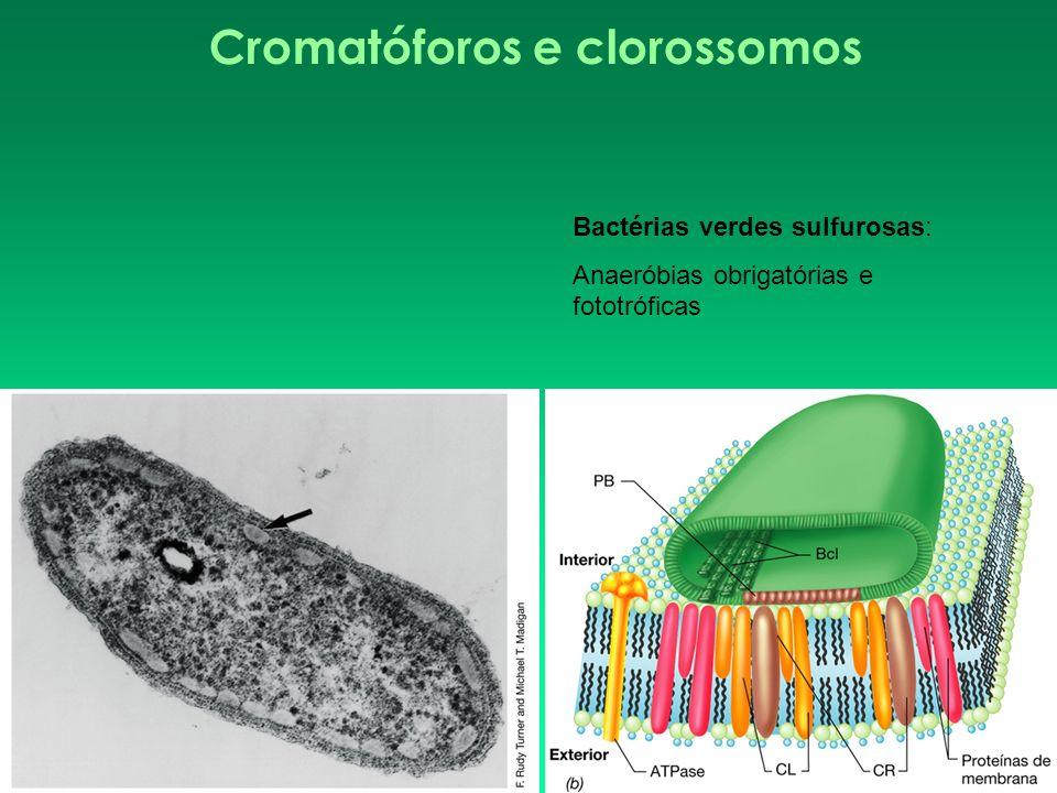 Cromatóforos e clorossomos Bactérias verdes sulfurosas: Anaeróbias obrigatórias e fototróficas