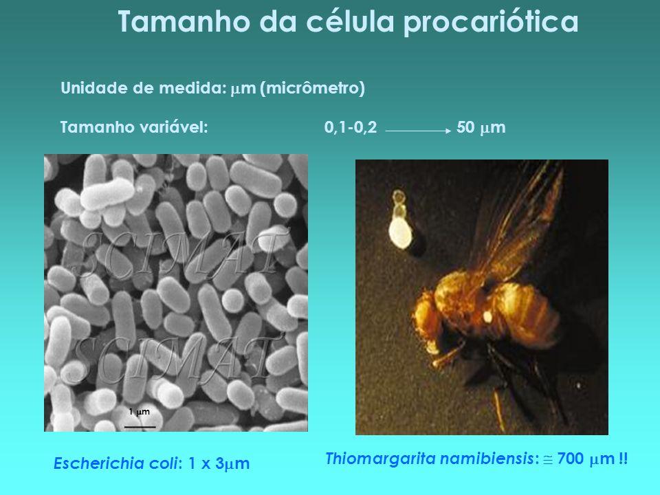 Tamanho da célula procariótica Unidade de medida: m (micrômetro) Tamanho variável:0,1-0,250 m Thiomargarita namibiensis : 700 m !! Escherichia coli :