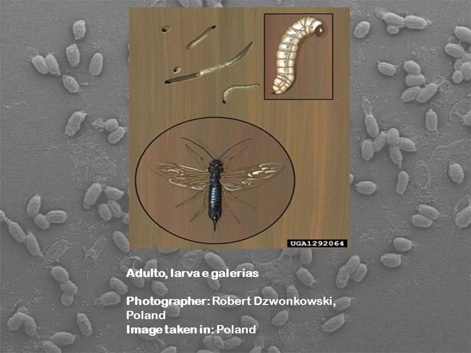 Adulto, larva e galerias Photographer: Robert Dzwonkowski, Poland Image taken in: Poland
