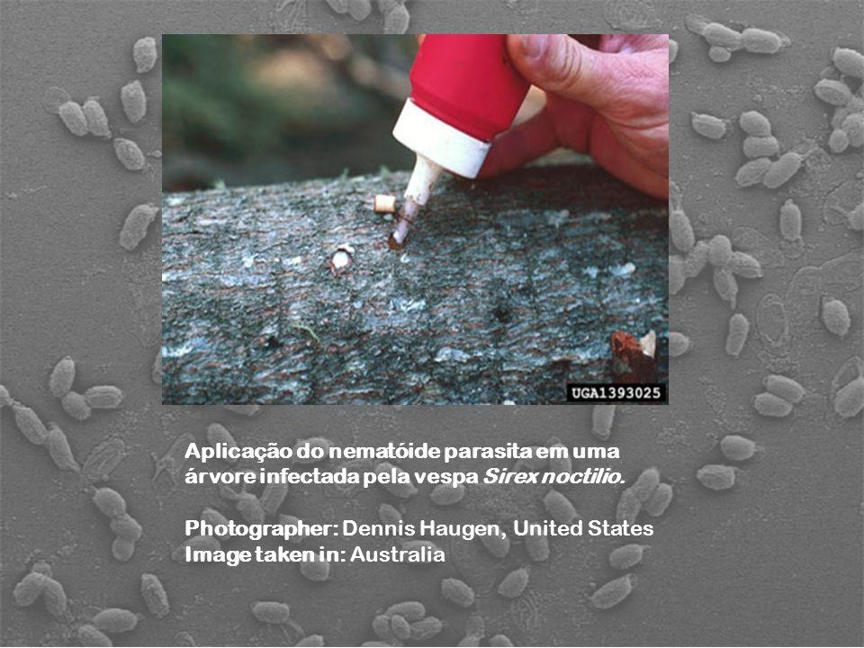Aplicação do nematóide parasita em uma árvore infectada pela vespa Sirex noctilio. Photographer: Dennis Haugen, United States Image taken in: Australi
