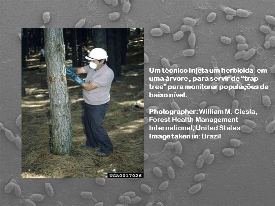Um técnico injeta um herbicida em uma árvore, para servir de trap tree para monitorar populações de baixo nível. Photographer: William M. Ciesla, Fore
