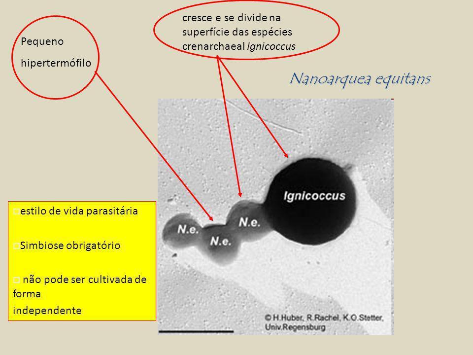 Pequeno hipertermófilo cresce e se divide na superfície das espécies crenarchaeal Ignicoccus estilo de vida parasitária Simbiose obrigatório não pode ser cultivada de forma independente Nanoarquea equitans