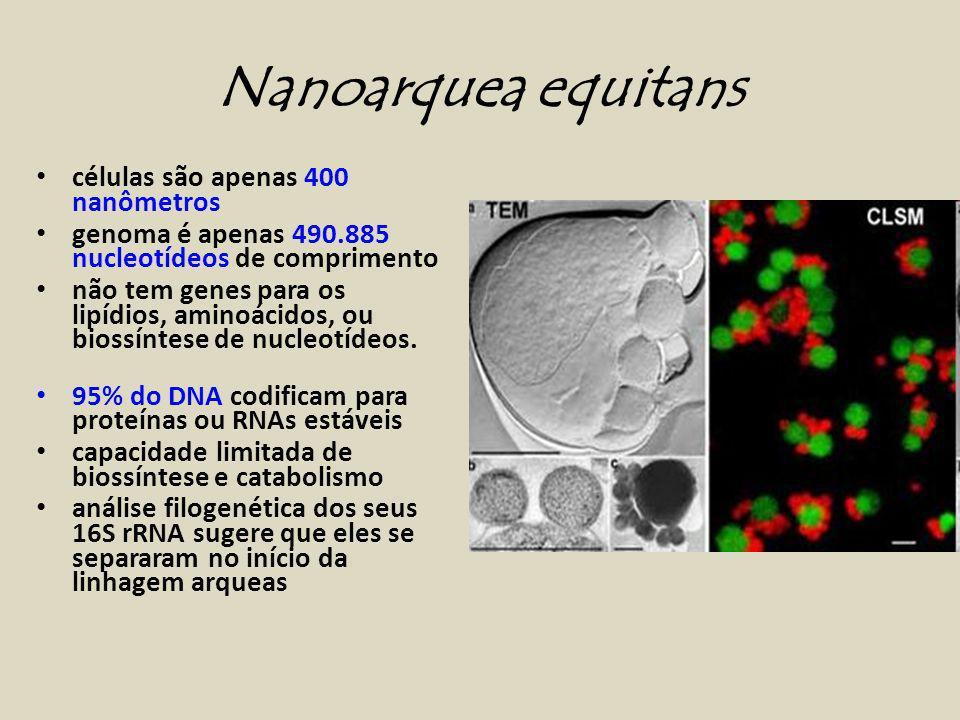 células são apenas 400 nanômetros genoma é apenas 490.885 nucleotídeos de comprimento não tem genes para os lipídios, aminoácidos, ou biossíntese de nucleotídeos.