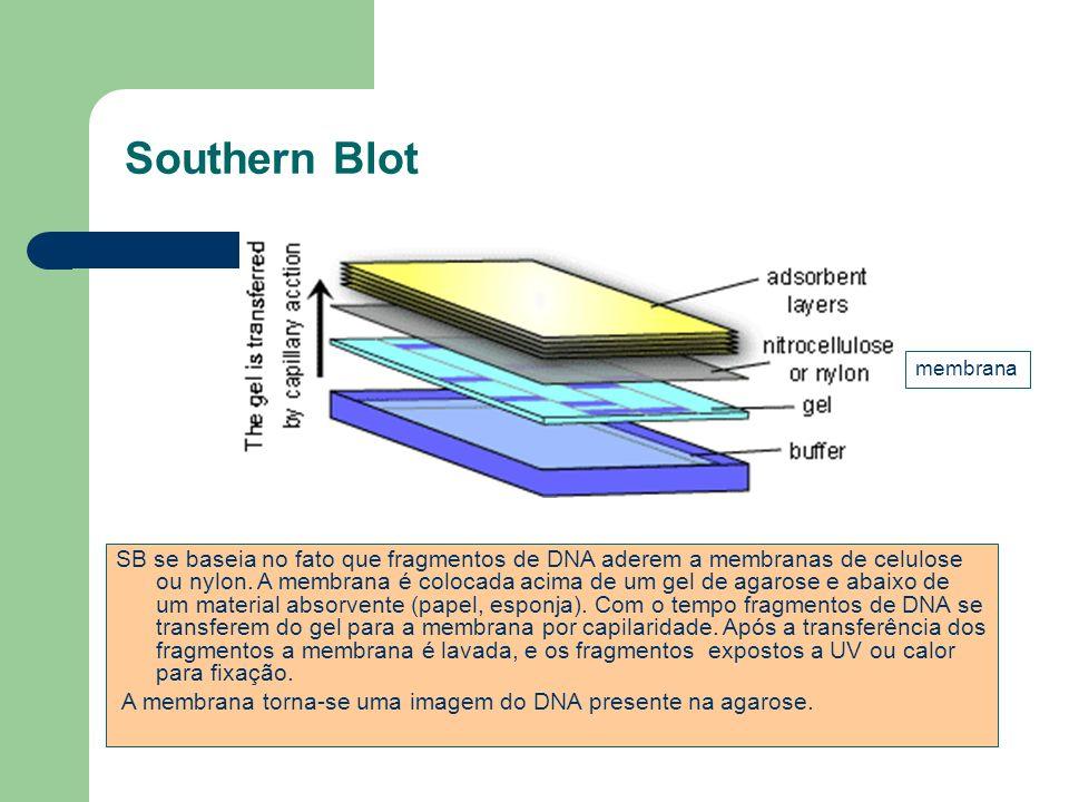 Southern Blot SB se baseia no fato que fragmentos de DNA aderem a membranas de celulose ou nylon. A membrana é colocada acima de um gel de agarose e a